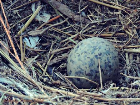 seagull egg